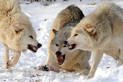 WolvesFighting